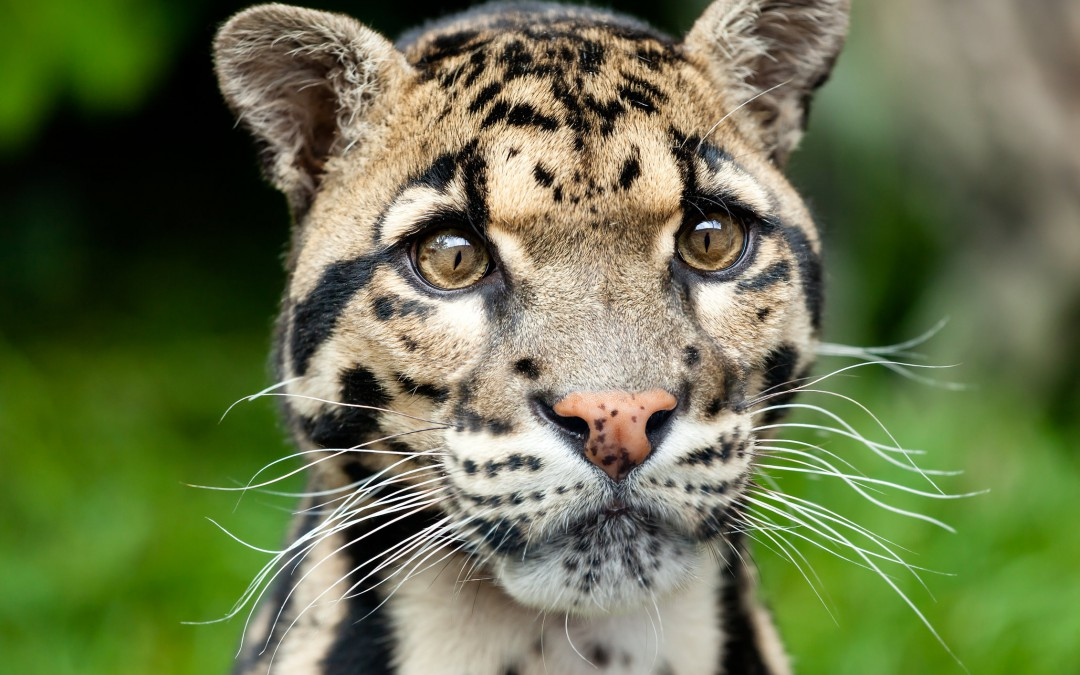 Exploring Biodiversity: The Sunda Clouded Leopard